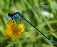 Azure Damselfly. Blue dragonfly on yellow flower Royalty Free Stock Image