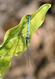 Azure Damselfly Stock Photo