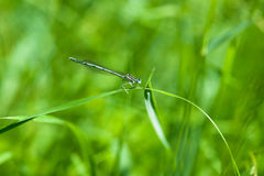Azure Damselfly Royalty Free Stock Photo