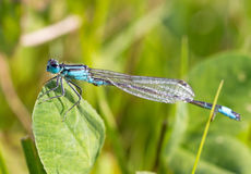 The Azure Damselfly. (Coenagrion puella) in a field in the Netherlands Stock Image