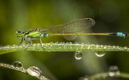 Azure Damselfly Photographie stock