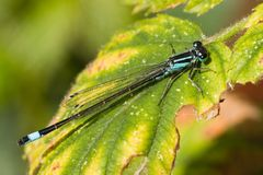 Azure Damselfly. Resting Azure Damselfly on leaf from blackberry Stock Images