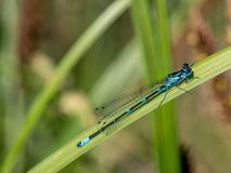 Azure damselfly on a blade of grass - Coenagrion puella, closeup. Anamorphic blue dragonfly Arrow Southern Coenagrion mercuriale. Blue Damselfly Coenagrionidae stock photography