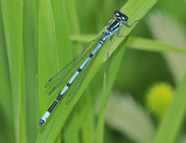 Azure Damselfly - Coenagrion puella Royalty Free Stock Photos