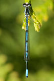 Azure damselfly (Coenagrion puella) Royalty Free Stock Images