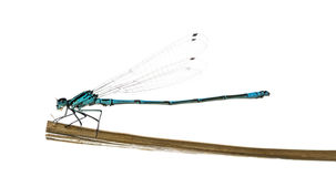 Azure Damselfly, Coenagrion Puella Royalty Free Stock Photography