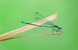 Azure damselfly, Coenagrion puella. On a straw in front of a green background Stock Photography