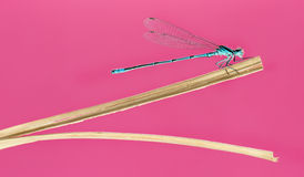 Azure damselfly, Coenagrion puella Royalty Free Stock Photo