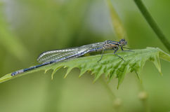 Azure Damselfly Stock Images