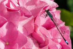 Azure Damselfly on hortensia flowers Royalty Free Stock Photo