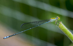 Azure Damselfly. Is island leaves Royalty Free Stock Images