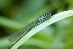Azure Damselfly - macro Royalty Free Stock Photography