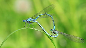 Azure Damselfly - mating stock footage