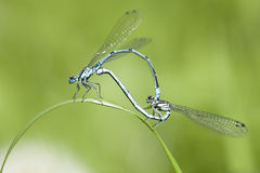 Azure Damselfly - mating Royalty Free Stock Image