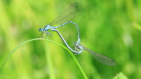Azure Damselfly at mating stock footage