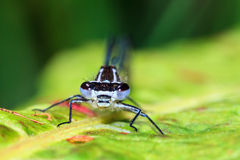 Azure damselfly portrait Stock Images