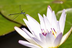 Azure damselfly resting on a white water lily stock image