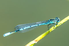 Azure Damselfly sitting on grass Stock Photography
