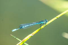 Azure Damselfly sitting on grass Royalty Free Stock Photos