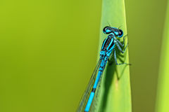 Azure Damselfly sitting on grass Stock Images