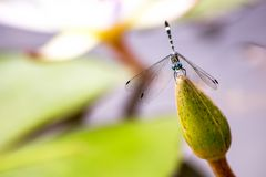 Azure damselfy resting on a bud stock images