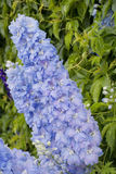 Azure delphinium. In front of a wall with the climbing plant virginia creeper - adobe RGB Stock Photography