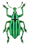 Azure exotic weevil (Eupholus cuvieri) Royalty Free Stock Photos