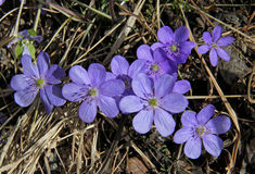 Azure flowers of spring (hepatica trifolia) Stock Image