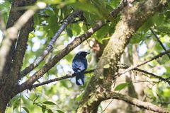 Azure Hooded Jay in the Cloud Forest Royalty Free Stock Photography