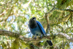 Azure Jay or Gralha Azul bird in Itaimbezinho Canyon at Aparados da Serra National Park - Cambara do Sul, Rio Grande do Sul, Brazi Stock Photo