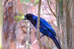 Azure Jay, Gralha Azul or Blue Jackdaw bird, Cyanocorax Caeruleus, Parque Estadual Rio Vermelho, Florianopolis, Brazil