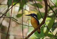 Azure Kingfisher royaltyfria bilder