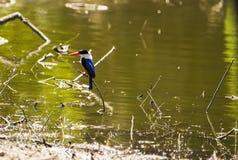 Azure Kingfisher arkivbild