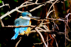 Azure Kingfisher Stock Images