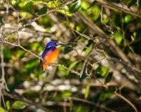 Azure Kingfisher. Is bird of Australia Royalty Free Stock Photos