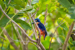 An Azure Kingfisher bird on a tree branch in Corroboree Billabong, NT, Australia royalty free stock photo