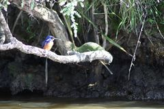 Azure Kingfisher royaltyfri bild