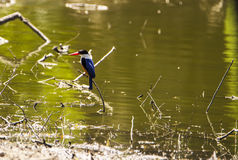 Azure Kingfisher. The kingfisher is a kingfisher, larger than a common kingfisher and more brightly colored stock photography