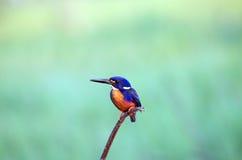 Azure Kingfisher Stock Photos