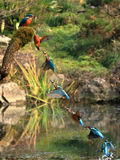 Azure kingfisher time lapse. Time lapse of azure kingfisher foraging in waters of Hangzhou, China Stock Images