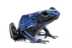 Azure Poison Dart Frog Royalty Free Stock Images