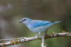 Azure shouldered Tanager perched on a  branch Royalty Free Stock Photography