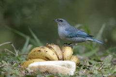 Azure-shouldered tanager, Thraupis cyanoptera Royalty Free Stock Photos