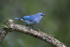 Azure-shouldered tanager, Thraupis cyanoptera Stock Photography