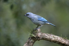 Azure-shouldered tanager, Thraupis cyanoptera Royalty Free Stock Images