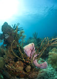 Azure Vase Sponge, Callyspongia plicifera Royalty Free Stock Image