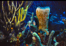 Azure Vase Sponge. On the reef floor, among soft corals, in the Caribbean Sea,  shot in Grand Cayman Stock Photography