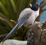 Azure-winged magpie 1 Stock Images