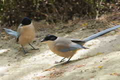 Azure-winged Magpie. Two Azure-winged Magpies(Scientific Name: Cyanopica cyana swinhoei) stand on ground Stock Image