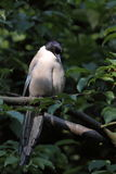 Azure-winged magpie. The azure-winged magpie sitting on the tweet Royalty Free Stock Photo